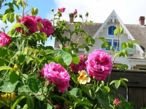 'Paul Ricault' roses with MacCallum House in the background.