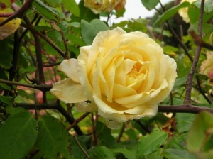 """MacCallum Yellow Tea"" rose identified as 'Etoile de Lyon'"